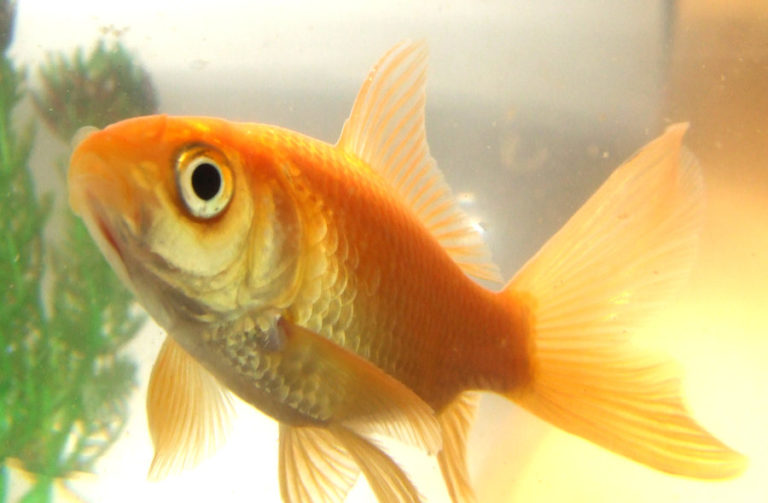 Goldfish have one second longer attention span than American adult